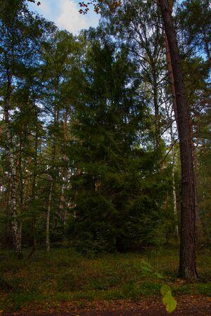 Pine lush green trees