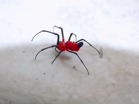 arachnoid: ? a red spider with legs and black rows