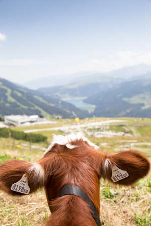 Cows on a medow in the austrian alps Imagens