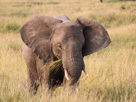 Éléphant dans masai mara, Kenya