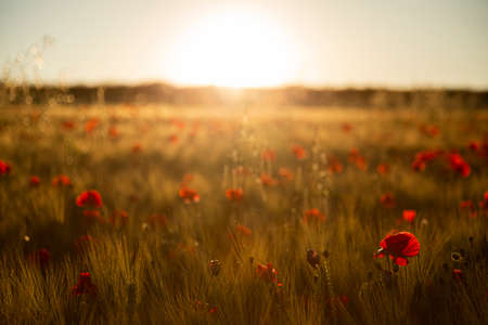 Sunset with a field of red poppies.