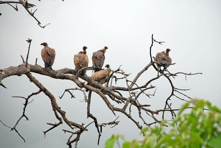 Vultures sitting on a dead tree looking for food; Chobe national park, Botswana photo