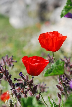 Red poppies on the field, vertical composition, selective focus Stock Photo - 10409357