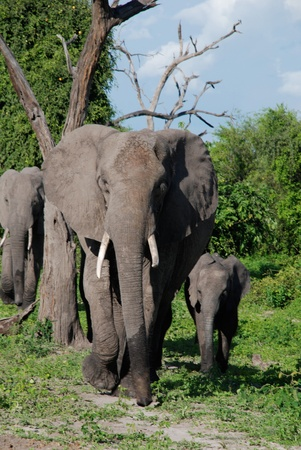 clumsiness: family of elephants in wild world(National park Chobe, Africa)
