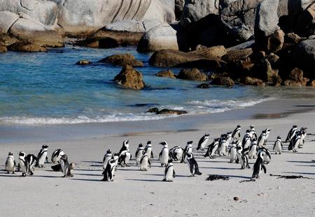 африканских пингвинов на берегу Атлантического океана (Южная Африка)