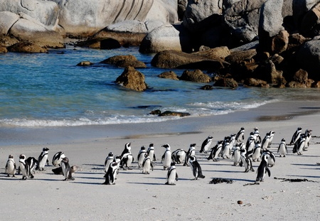 boulders: african penguins on the beach of Atlantic Ocean(South Africa)