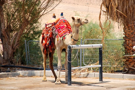 camel in Israel kibbutz in desolate wilderness photo