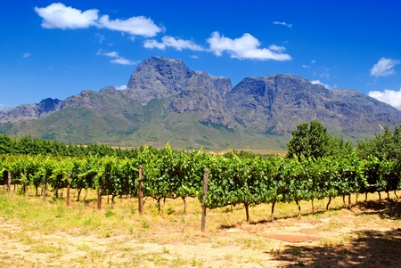 south africa: vineyard in province West Cape(South Africa)