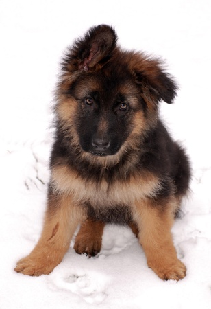 Cute fluffy German Shepherd puppy, 3 months old, sitting on the snow. Stock Photo