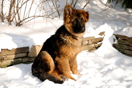 Cute fluffy German Shepherd puppy, 5 months old, sitting on the snow. Banque d'images