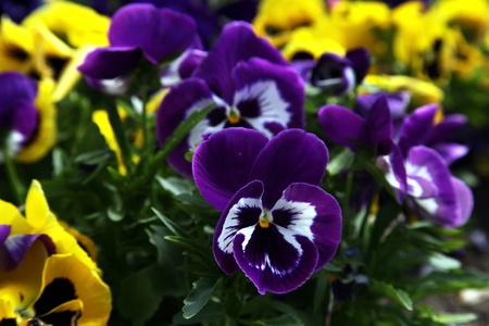 Rurple and yellow pansies in a spring garden. Selective focus photo