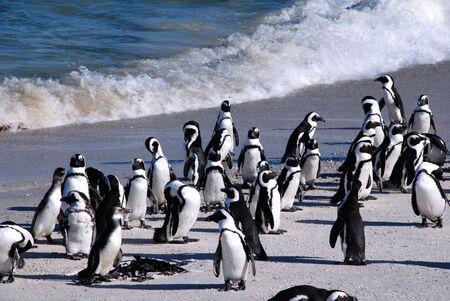 Африканские пингвины (также известный как черноногий Penguins) в Боулдере пляже Атлантического океана (Кейптаун, Южная Африка)