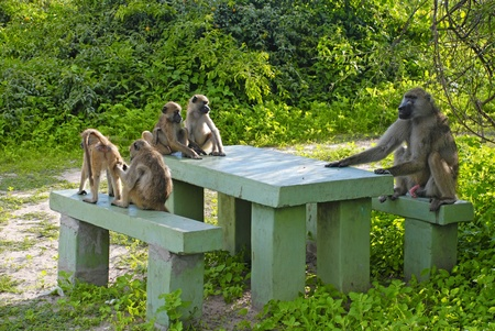 Group of funny baboon sitting at the table in National Park Chobe(Botswana) photo