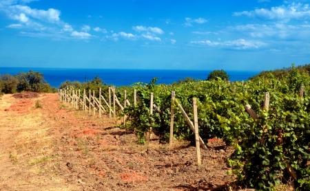 agricoltura bellissimo paesaggio con vigneti costiera e del mare, Crimea, Ucraina