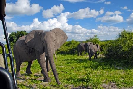 野生サバンナ (ボツワナ、チョベ国立公園) の巨大なアフリカ象とジープ ・ サファリ