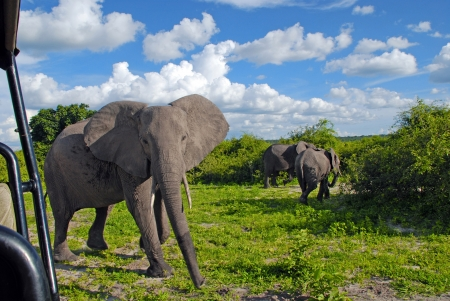Jeep safari with gigantic african elephant in wild savanna(National park Chobe, Botswana)