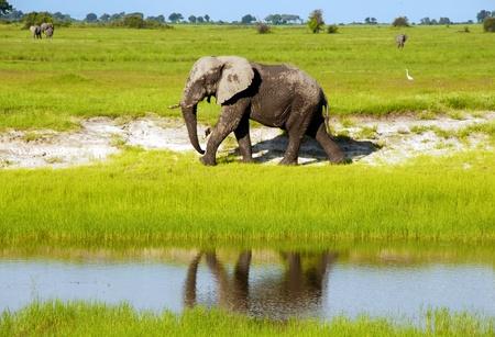 Dirty african elephant in wild grass savanna(National park Chobe, Botswana,South Africa) Imagens