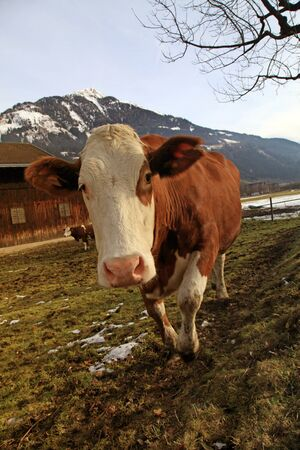 Curious cow looking at camera on Alps farm in spring Austria   photo