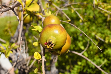 Pomegranates on the tree, Greece  Selective focus photo