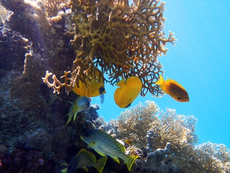 Corals and Sponge with Tropical Fish on Colourful coral reef in the Red Sea , Egypt  photo