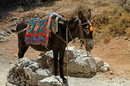 typical greek donkey with multicolor saddle standing in the mountains, Crete island, Greece. Donkeys are used for transportation on the island of Greece where cars are not allowed. photo