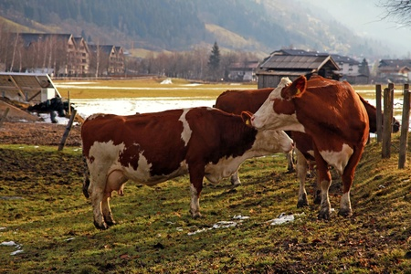Cow on Alpine farm , Alps mountains, Austria in early spring. photo