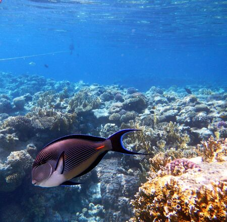 sohal: Corals and Sponge with Tropical Sohal Surgeonfish on Colourful coral reef in the Red Sea , Egypt