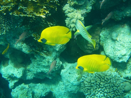 Corals and Sponge with Tropical butterfly fish on Colourful coral reef in the Red Sea , Egypt photo
