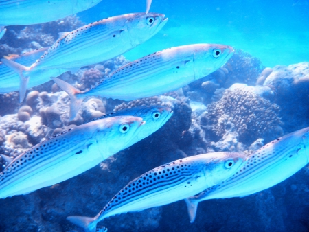 A school of sardine feeding in the Red Sea, Egypt photo