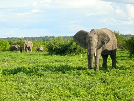 African elephants walking in bush savannah. Taken in Chobe National Park, Botswana, Africa. photo