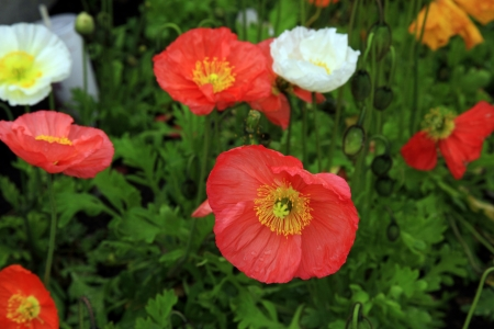 Colorful poppies, selective focus, horizontal image Stock Photo - 20352316