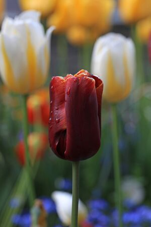 red tulip with water drops with yellow tulips on background, selective focus Stock Photo - 20444438