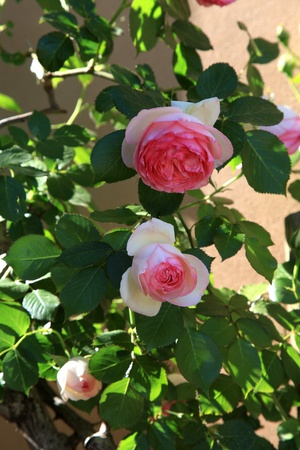 Pink roses in the garden, selective focus  vertical image photo