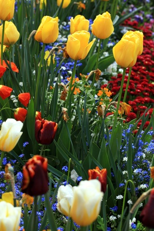 yellow and red tulips with water drops with multicolored garden flowers on background, selective focus Stock Photo - 21734696