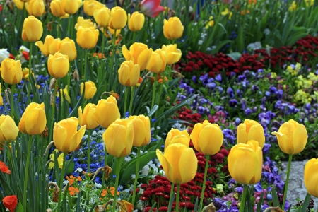 yellow tulips with water drops with multicolored garden flowers on background, selective focus,horizontal image Stock Photo - 22016780