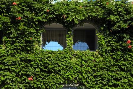 wall ivy: dos ventanas de arco hermoso con la pared verde hiedra, Grecia