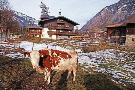 Cow on Alpine farm , Alps mountains, Bad Hofgastain, Austria, early spring. photo