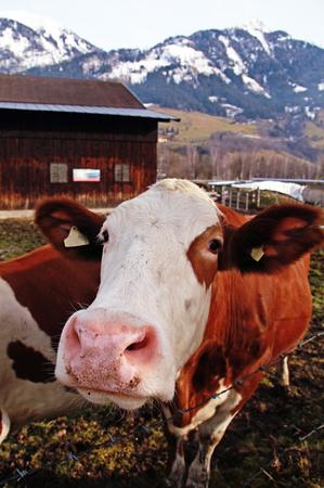 Curiosity cow on Alpine farm , Alps mountains, Austria in early spring. Selective focus photo