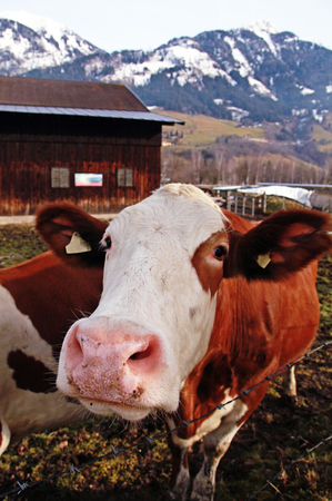 Curiosity cow on Alpine farm , Alps mountains, Austria in early spring. Selective focus photo