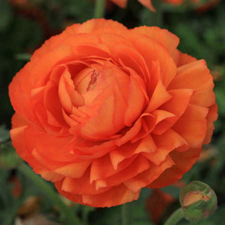 persian buttercup: Persian buttercup (Ranunculus) flower in the garden, Montreux Stock Photo