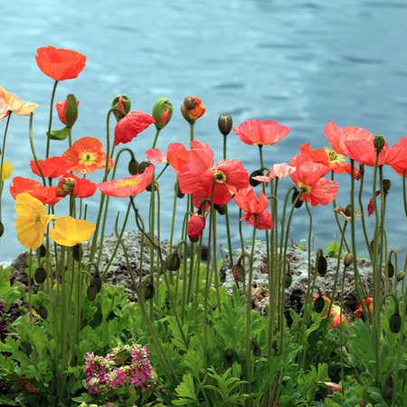 montreux: Colorful poppies on the Lake Geneva, Montreux. Square toned image