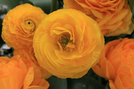 persian buttercup: Persian buttercup (Ranunculus) flowers in the garden, Montreux Stock Photo