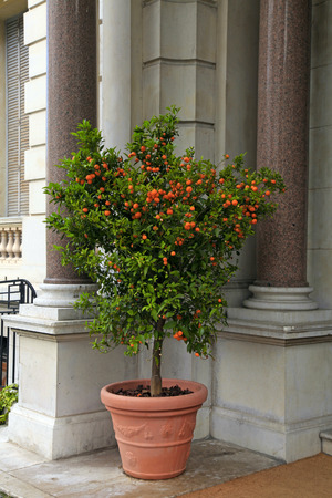 cote d'azur: Tangerine tree in the pot on beautiful mansion background, Nice, Cote dAzur, France