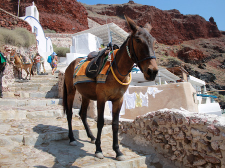 santorini greece: traditional donkey on old stone stairs in Oia, Santorini, Greece