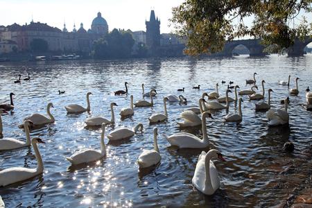 vltava: White swans on Vltava river and Charles Bridge on the background, Prague. Sunshine Stock Photo