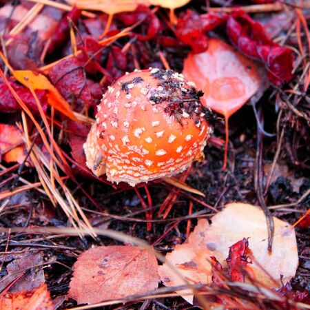 muscaria: Amanita muscaria, a poisonous mushroom in autumn forest, selective focus, square toned image