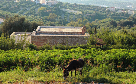 house donkey: A donkey on a countryside landscape, Crete, Greece Stock Photo