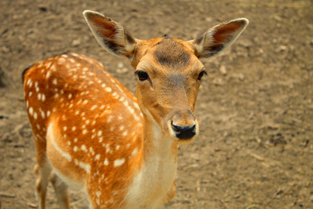 deer spot: Portrait of whitetail deer fawn, selective focus, toned image