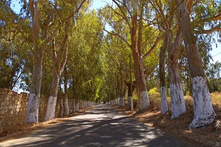 eucalyptus trees: alley of eucalyptus trees on a country road Stock Photo