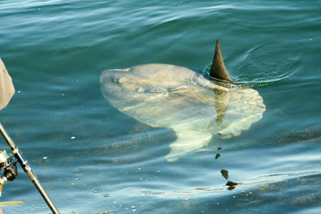 Ocean Sunfish eying a fisherman that just released it after being caught in the Cape Cod Canal. Stok Fotoğraf